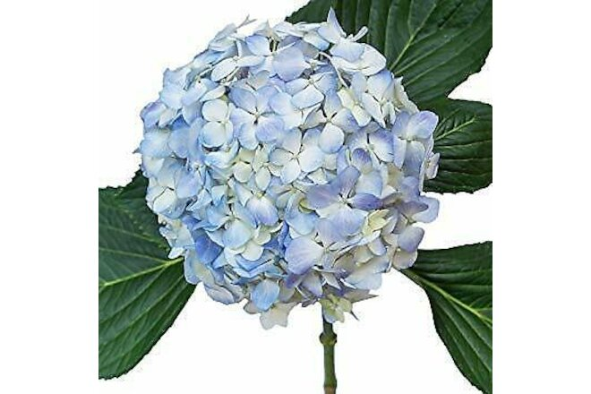 Premium Blue Hydrangea / 20 stems / Grower Direct / Quality Guaranteed