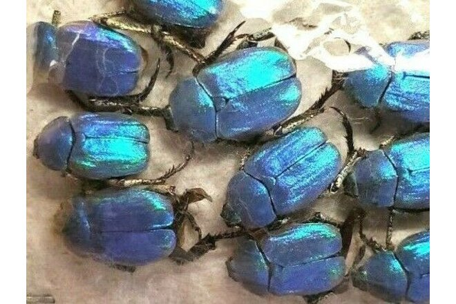 HOPLIA COERULEA - Lot of 5 BLUE SCARABS, UNMOUNTED - FRANCE
