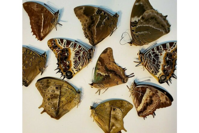 Assortment of 10 STUNNING CHARAXES SPECIMENS, UNSPREAD -  AFRICA